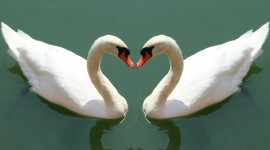 Swans Love Photo Download