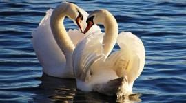 Swans Love Photo Free