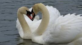 Swans Love Wallpaper