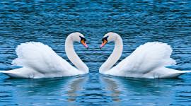 Swans Love Wallpaper For Desktop