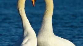 Swans Love Wallpaper For IPhone