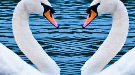 Swans Love Wallpaper For IPhone#1