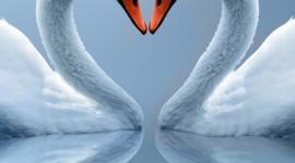 Swans Love Wallpaper For Mobile