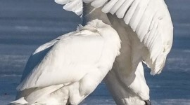 Swans Love Wallpaper For Mobile#1