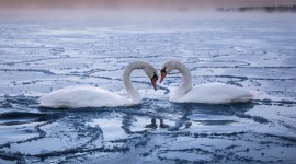 Swans Love Wallpaper For PC
