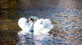 Swans Love Wallpaper Gallery