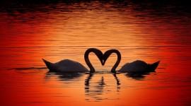 Swans Love Wallpaper HQ