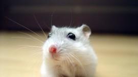 Syrian Hamster Desktop Wallpaper HD