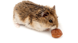 Syrian Hamster High Quality Wallpaper
