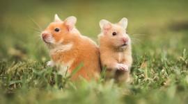 Syrian Hamster Wallpaper 1080p