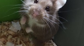 Syrian Hamster Wallpaper Download