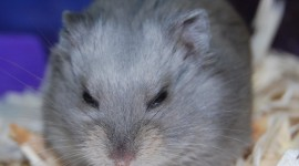 Syrian Hamster Wallpaper For IPhone