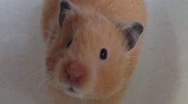 Syrian Hamster Wallpaper For IPhone Download