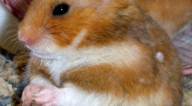 Syrian Hamster Wallpaper For IPhone Free