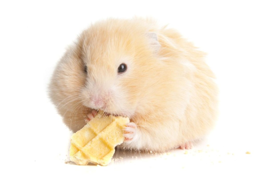 Syrian Hamster wallpapers HD