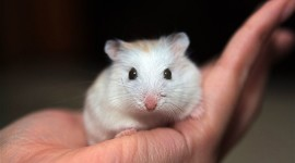 Syrian Hamster Wallpaper Free