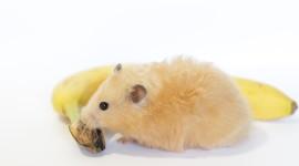 Syrian Hamster Wallpaper Full HD