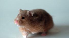 Syrian Hamster Wallpaper HQ