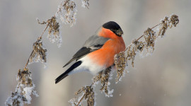 4K Bullfinches Winter Aircraft Picture