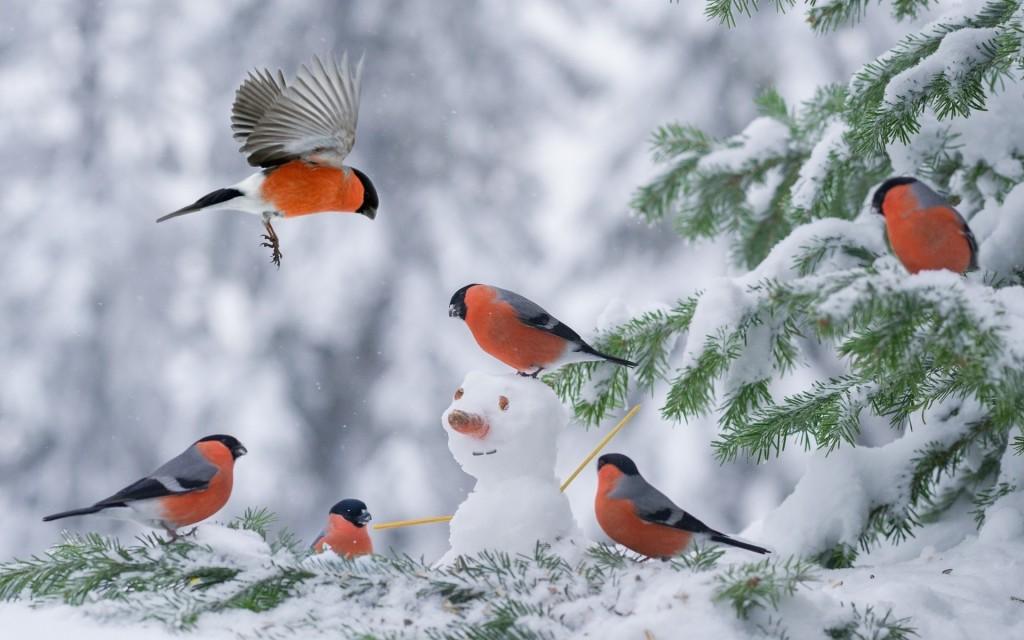4K Bullfinches Winter wallpapers HD