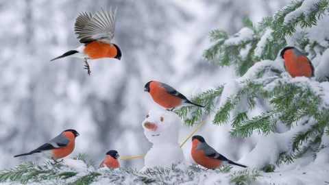 4K Bullfinches Winter wallpapers high quality