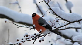4K Bullfinches Winter Photo Download