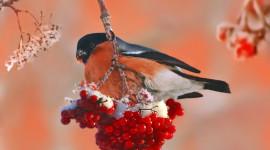 4K Bullfinches Winter Photo Free