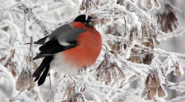 4K Bullfinches Winter Picture Download