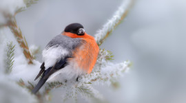 4K Bullfinches Winter Wallpaper 1080p