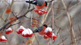 4K Bullfinches Winter Wallpaper