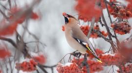 4K Bullfinches Winter Wallpaper Download