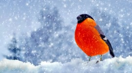 4K Bullfinches Winter Wallpaper For Desktop