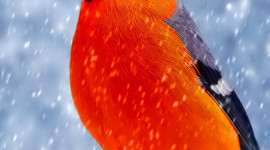 4K Bullfinches Winter Wallpaper For Mobile