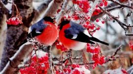 4K Bullfinches Winter Wallpaper Free