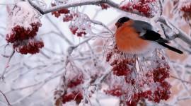4K Bullfinches Winter Wallpaper Full HD