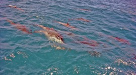 Brazilian Dolphin Wallpaper Download Free