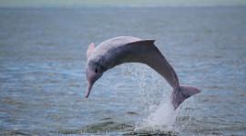 Brazilian Dolphin Wallpaper Free