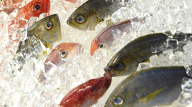 Frozen Fish Wallpaper Free