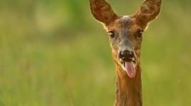Funny Deer Desktop Wallpaper HD