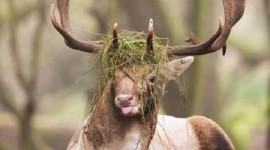 Funny Deer Wallpaper For IPhone