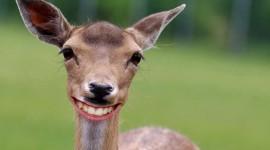 Funny Deer Wallpaper Free