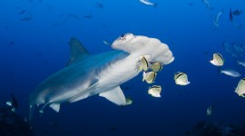 Hammerhead Shark Best Wallpaper