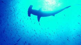 Hammerhead Shark Desktop Wallpaper