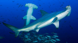 Hammerhead Shark Desktop Wallpaper For PC
