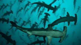 Hammerhead Shark Desktop Wallpaper Free