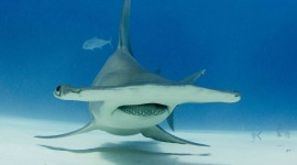 Hammerhead Shark Desktop Wallpaper HQ