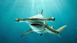 Hammerhead Shark Wallpaper Background