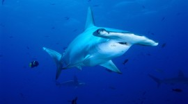 Hammerhead Shark Wallpaper Download Free