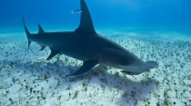 Hammerhead Shark Wallpaper For Desktop