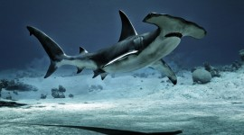 Hammerhead Shark Wallpaper For PC